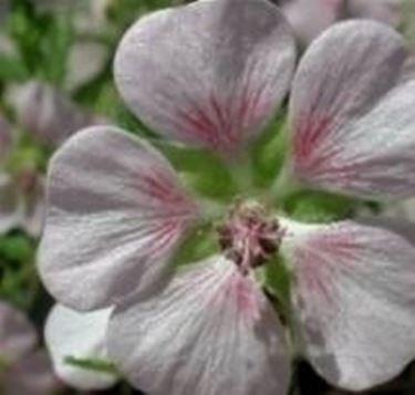 Anisodontea hypomandarum