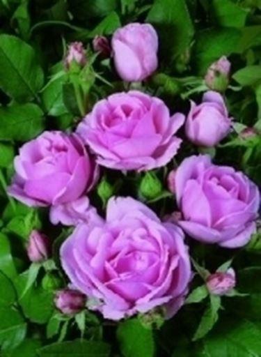 rosa ballade