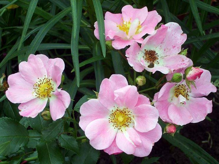 rose bassino