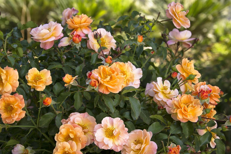 Rose Tappezzanti Rose