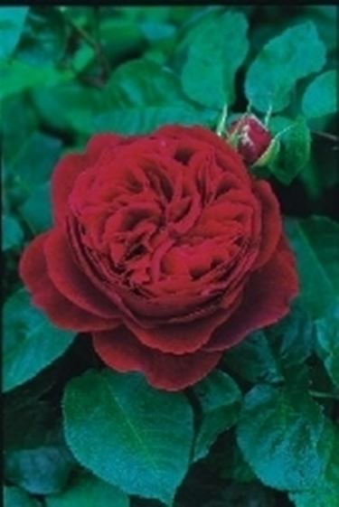 rosa braitwhaite
