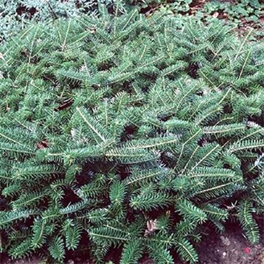abies koreana fliegendeuntertasse