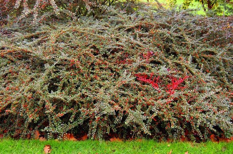 Piante tappezzanti speciali piante tappezzanti for Arbusti sempreverdi