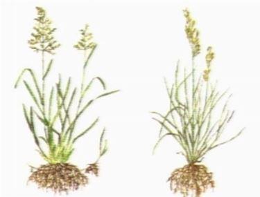 varieta erba