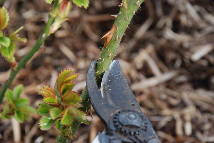 Potatura delle rose tecniche di giardinaggio potatura for Potatura delle rose