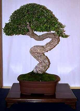 Bonsai di pino forum di for Bonsai comprare