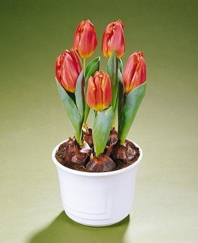 Bulbi in vaso 28 images giacinti bulbi bulbi for Coltivare more in vaso