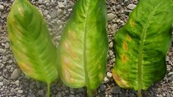 Carenza di luce nelle piante
