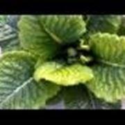 Carenza di magnesio nelle piante