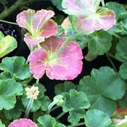 Carenza fosfati nelle piante