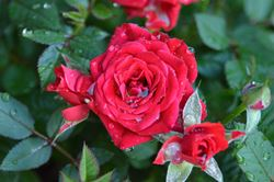Come e quanto annaffiare le rose