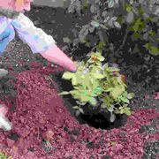 Impianto, trapianto e rinvaso delle rose