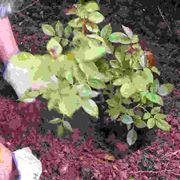 Introduzione alla coltivazione delle rose