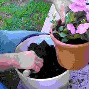 Piante annuali da vaso