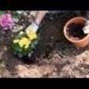 Begonia e begonietta