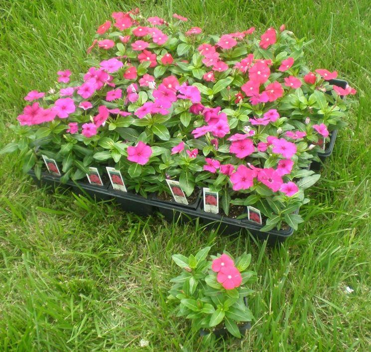 Introduzione piante annuali