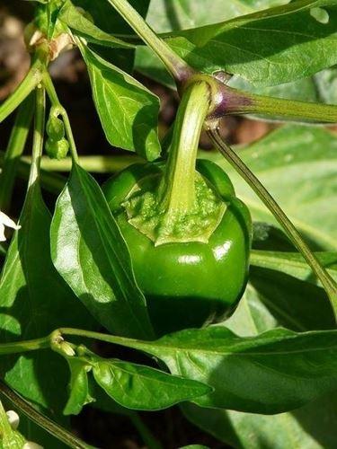 irrigazione peperoni
