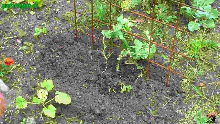 Piselli piante da orto for Piante da stagno