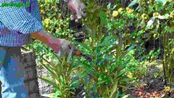 Talee erbacee e di legno verde