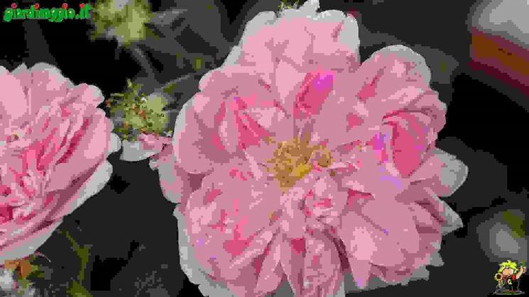 Introduzione rose antiche