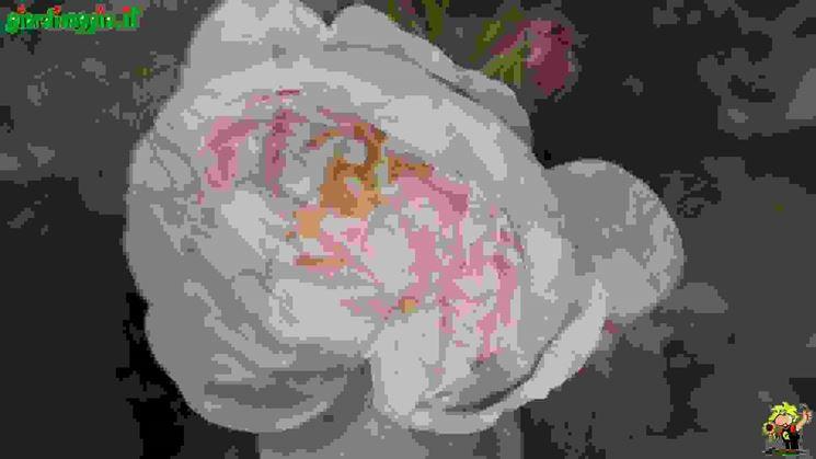 Rosa muscosa