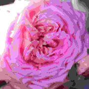 Rose cinesi