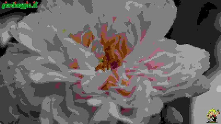 Rose scozzesi