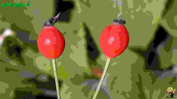 Rose sempervirens