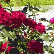 Rose Arbustive
