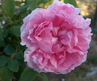 Tipologie di rose antiche