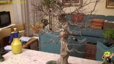 annaffiature bonsai