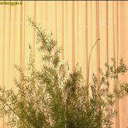 asparagi da foglia