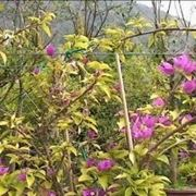bonsai di rampicanti