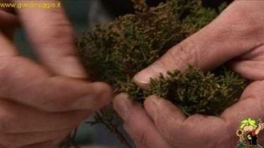 cimatura rami bonsai