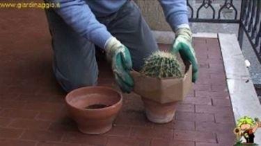 coltivare echinocactus