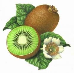 Descrizione kiwi