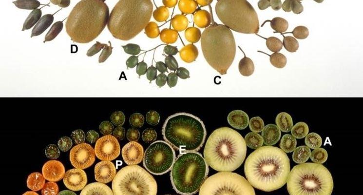 Varietà kiwi