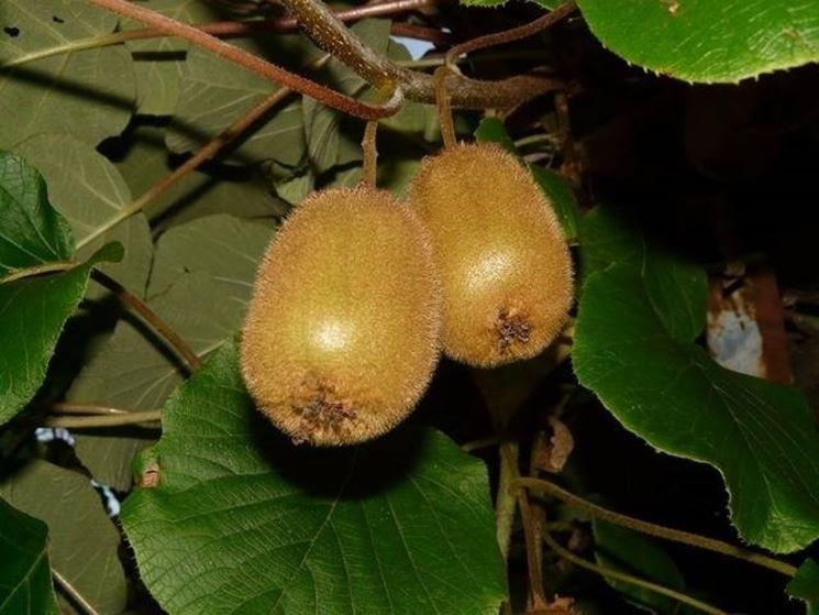 parassiti e malattie kiwi