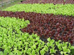 coltivare insalata