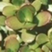 coltivare crassula