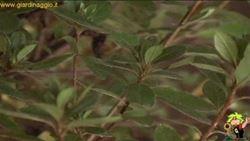 coltivazione delle azalee da appartamento