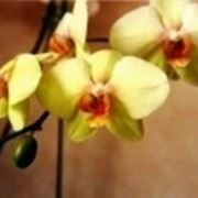 coltivazione phalaenopsis