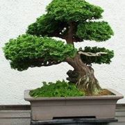 potatura bonsai