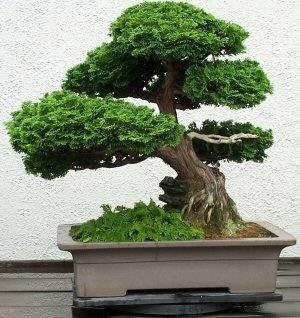 Potatura bonsai ficus ficus for Tipi di bonsai