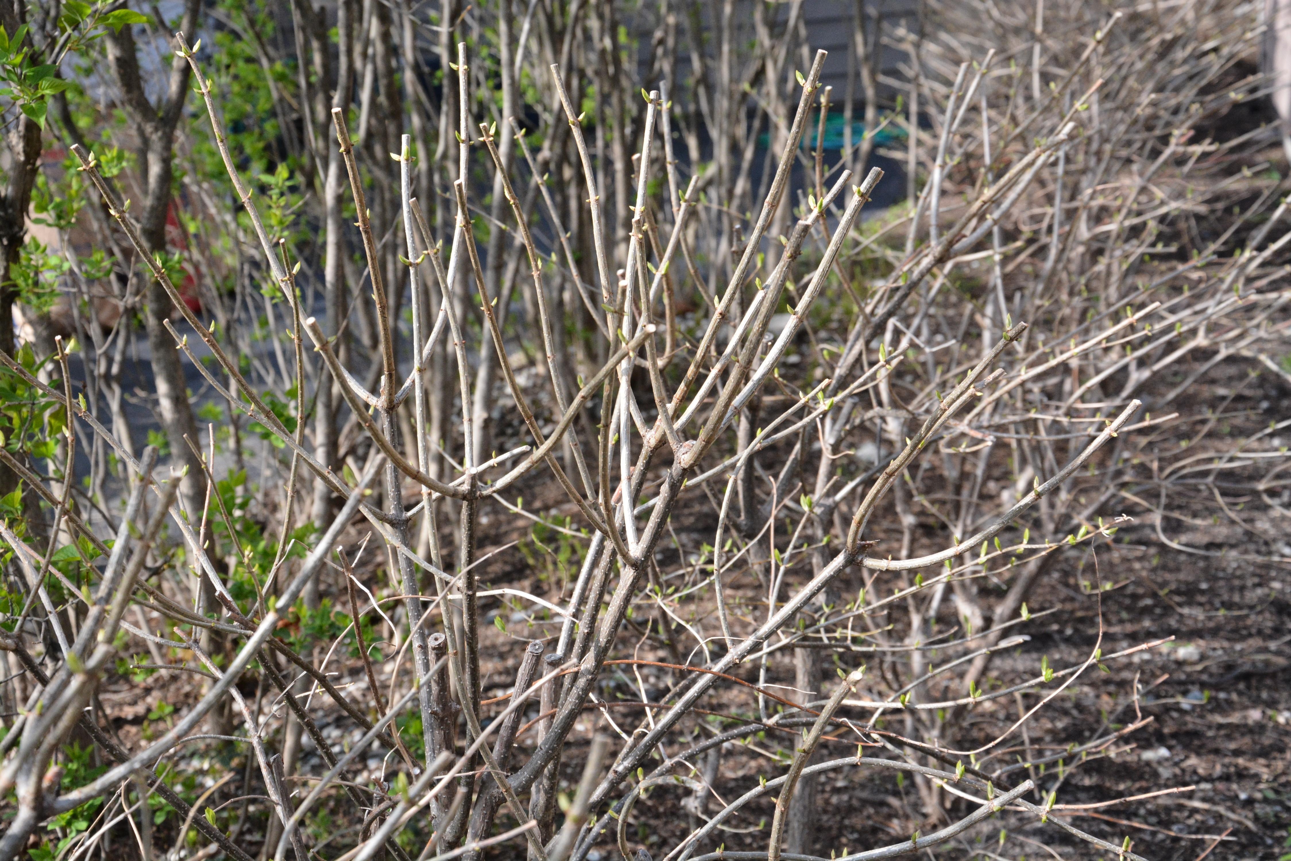 Potare ortensie - Hydrangea macrophylla - Potatura