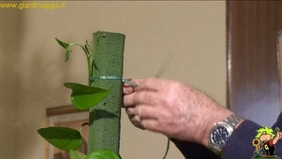 Fissare i rampicanti da interno ad un tutore in schiuma o muschio video piante appartamento - Piante rampicanti da interno ...