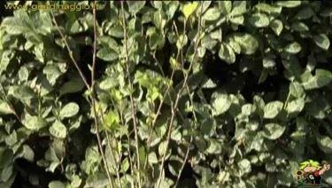 ibisco foglie caduche