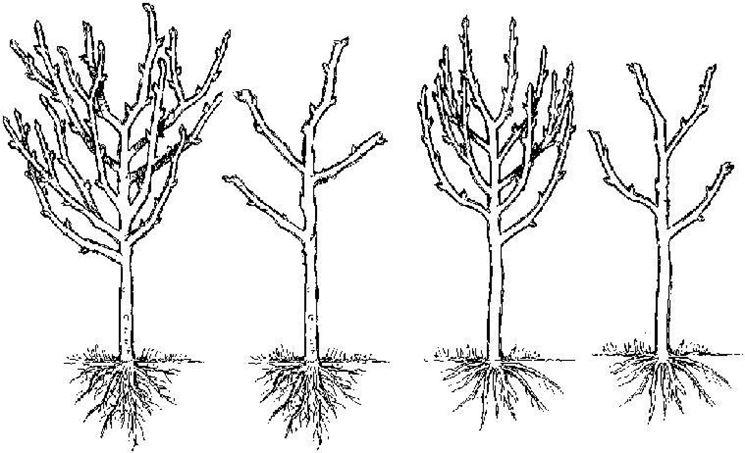 Potatura delle piante da frutto video potature for Potatura alberi da frutto