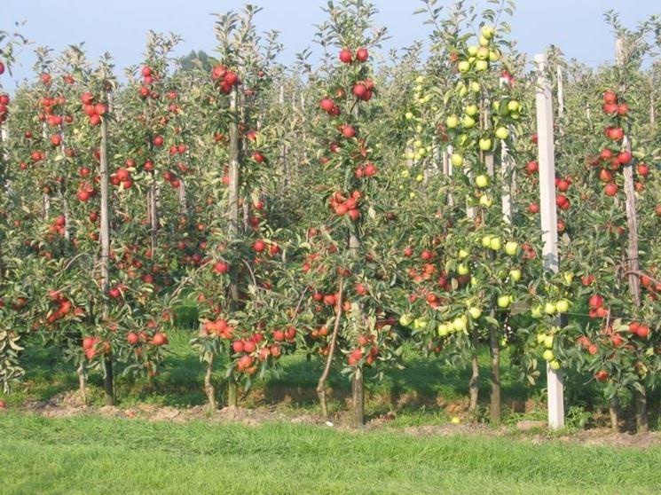 Potatura delle piante da frutto video potature for Piante da cespuglio