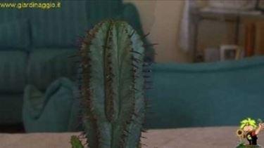 propagare succulente per innesto